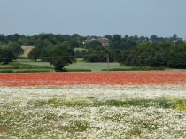 Pipe Hill poppies, overlooking Maple Hayes