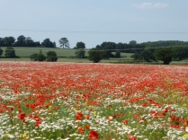 Pipe Hill poppies