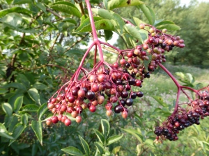 Elderberries, Walton upon Trent