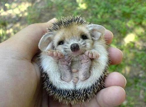 babyhedgehog