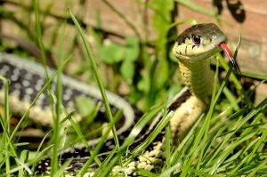 According to Ian Anderson, he who made kittens also put snakes in the grass. How true. Image by DevilDucMike.