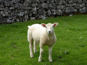 Lots of spring lambs around