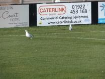 Walsall Wood seagulls watching Stouport Swifts