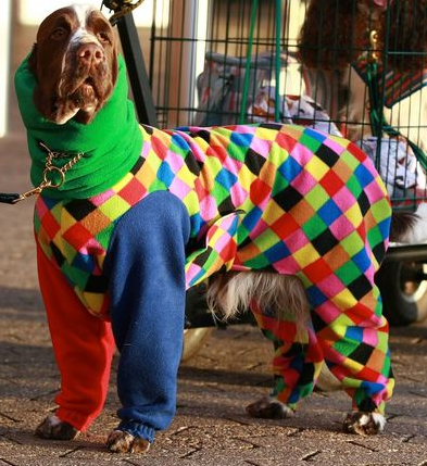 dog-in-harlequin-onesie-393x429